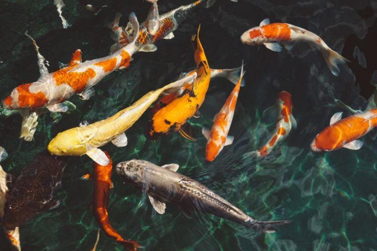 koi Fische