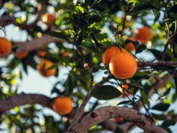Obstbaum richtig veredeln